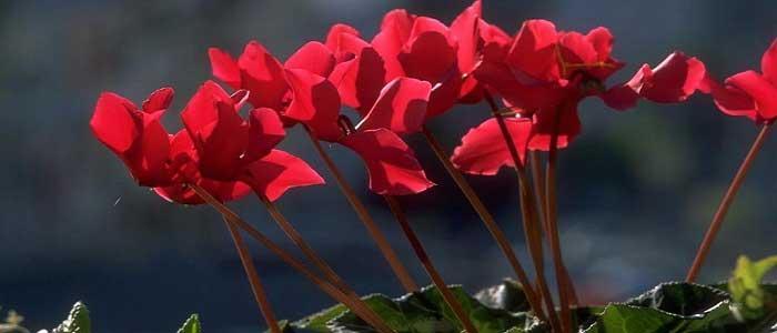 Siklamen Çiçeği Nedir?