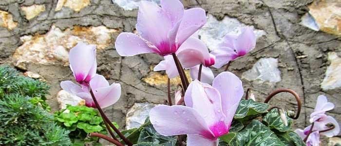 Siklamen Çiçeğinin Faydaları Nelerdir?