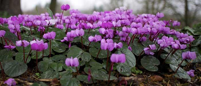 Siklamen Çiçeğinin Özellikleri Nelerdir?
