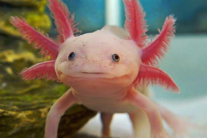 Axolotl: içerik ve bakım, açıklama, besleme