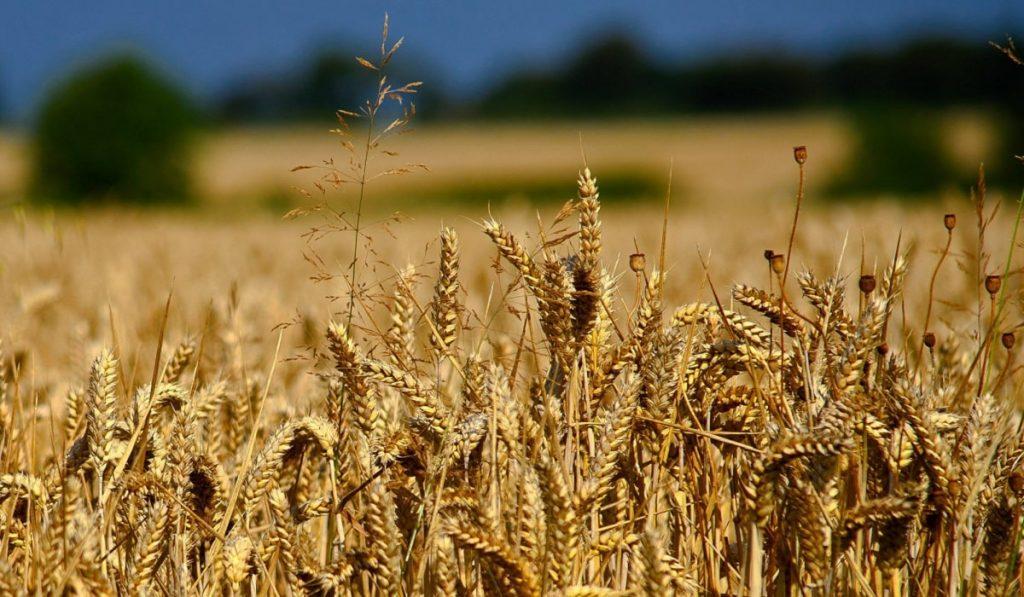 Buğday Nedir? Özellikleri ve Faydaları Nelerdir?