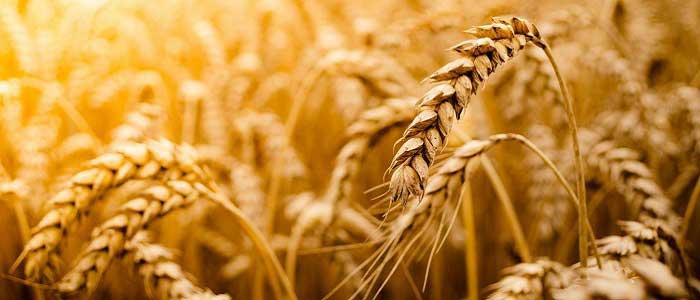 Buğday Nedir?