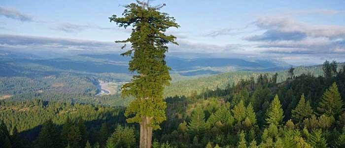 Hyperion Ağacı (Sahil Sekoyası) Nedir?