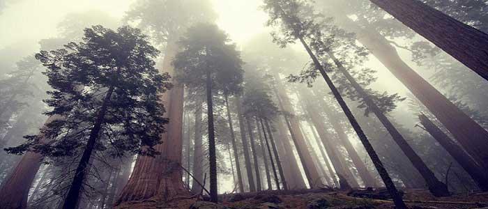 Hyperion Ağacının Faydaları Nelerdir?