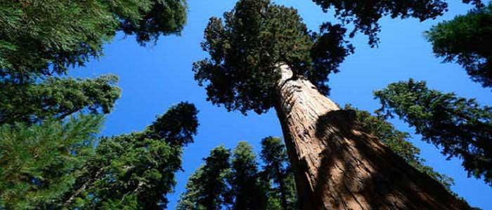 Hyperion Ağacının Özellikleri Nelerdir?