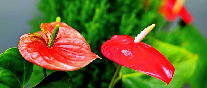 Antoryum Çiçeğinin Bakımı Nasıl Yapılır?