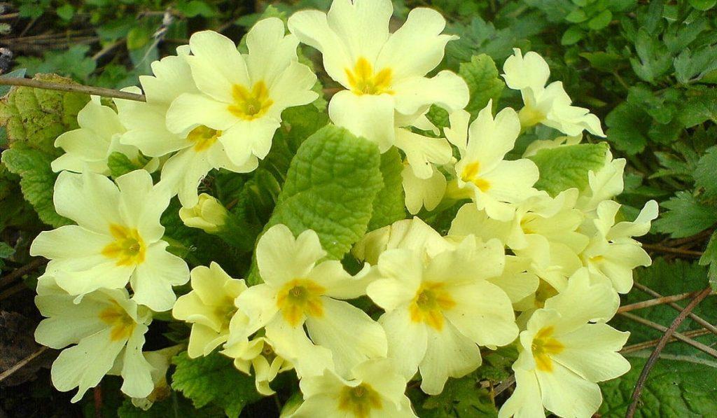 Çuha Çiçeği Nedir? Nasıl Kullanılır? Faydaları ve Yan Etkileri Nelerdir?