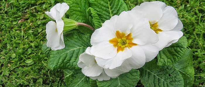 Çuha Çiçeği Nasıl Kullanılır?