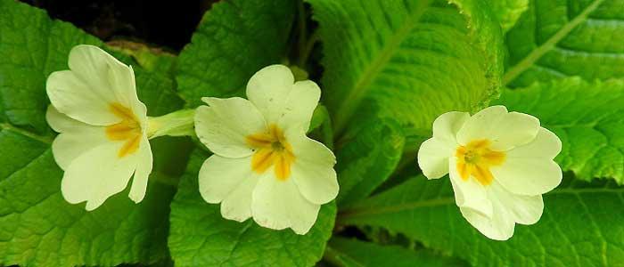 Çuha Çiçeği Nedir?