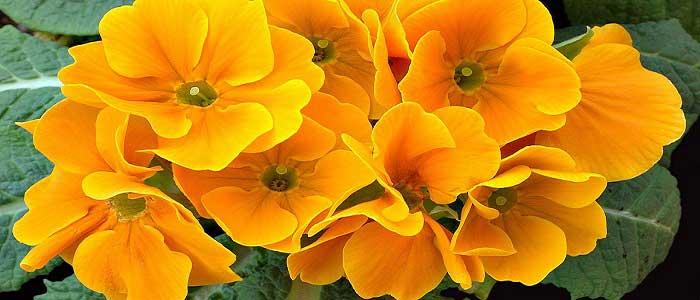 Çuha Çiçeğinin Türleri Nelerdir?