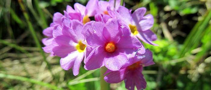 Çuha Çiçeğinin Yan Etkileri Nelerdir?