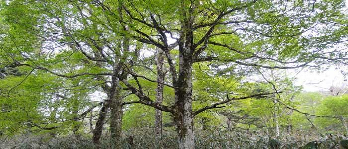 Kayın Ağacı Nedir?