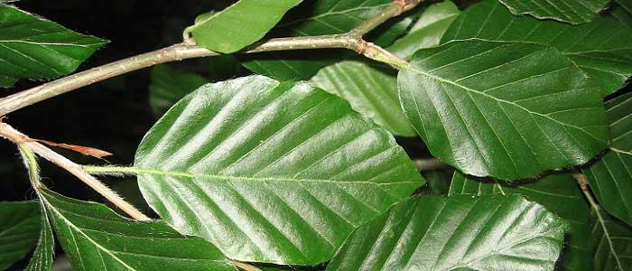 Kayın Ağacının Faydaları Nelerdir?