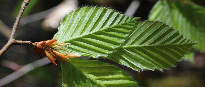 Kayın Ağacının Özellikleri Nelerdir?