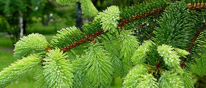Köknar Ağacının Özellikleri Nelerdir?