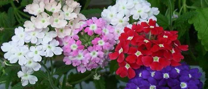 Mine Çiçeğinin Çeşitleri Nelerdir?
