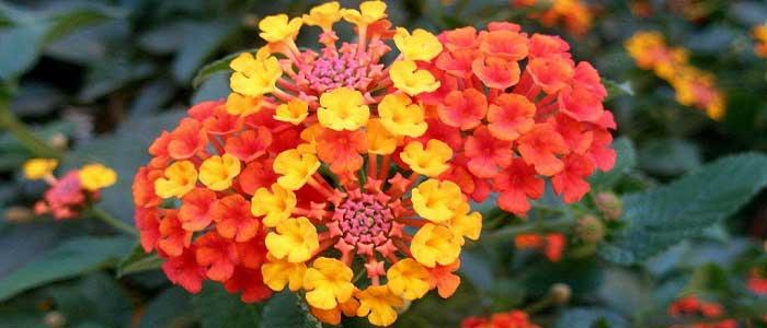 Mine Çiçeğinin Özellikleri Nelerdir?