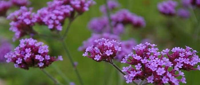 Mine Çiçeğinin Zararları Nelerdir?