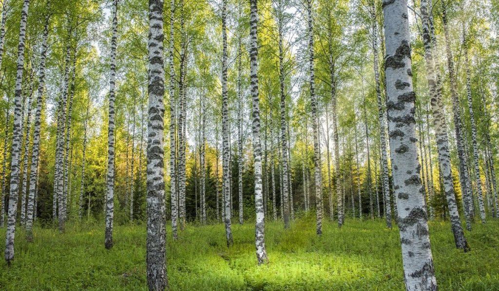 Huş Ağacı Nedir? Özellikleri ve Faydaları Nelerdir?
