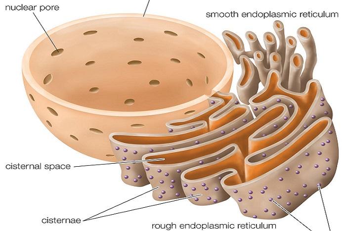 Endoplazmik Retikulum Nedir? Özellikleri, Çeşitleri ve Görevleri Nelerdir?