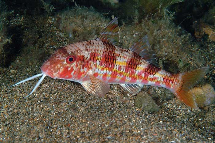 Tekir Balıkları Hakkında Bilgi; Tekir Balığı Nedir? Özellikleri Nelerdir?