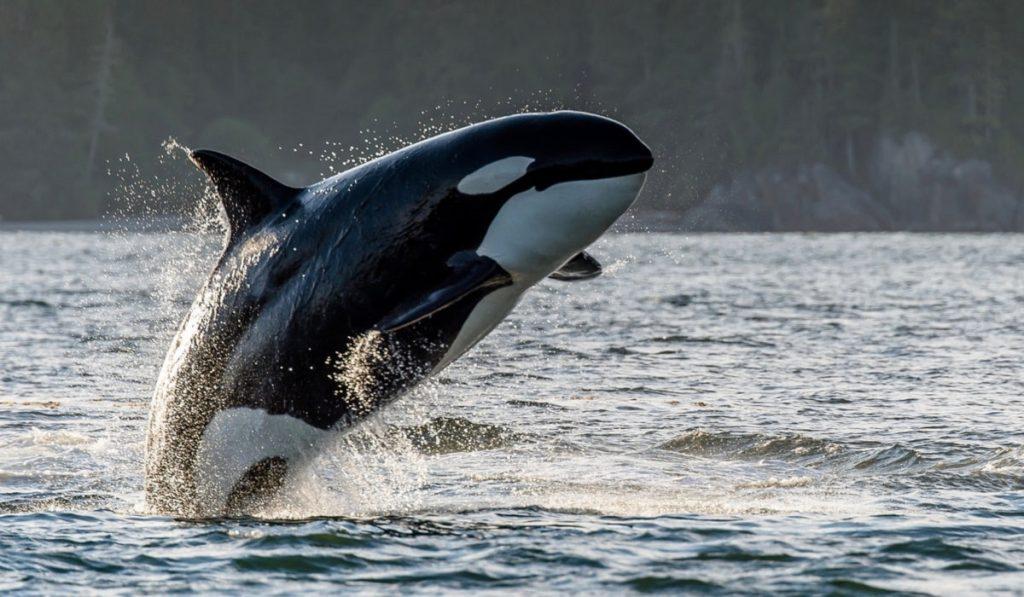 Balinalar Hakkında Bilgi; Balina Nedir? Özellikleri Nelerdir?