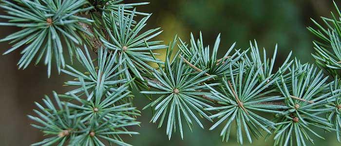 Sedir Ağacı Nedir özellikleri Ve Faydaları Nelerdir Bilgihanem