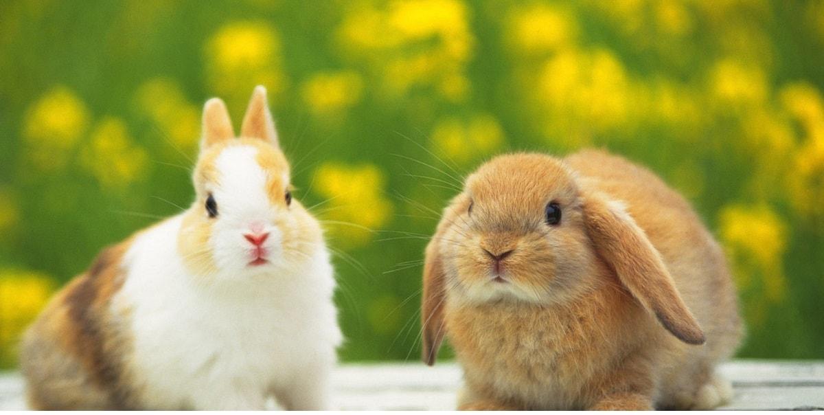 Tavşanların Özellikleri Nelerdir?
