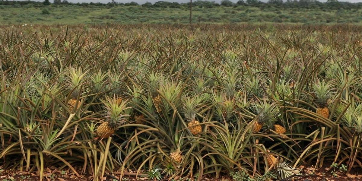 Ananas Nasıl Yetiştirilir?