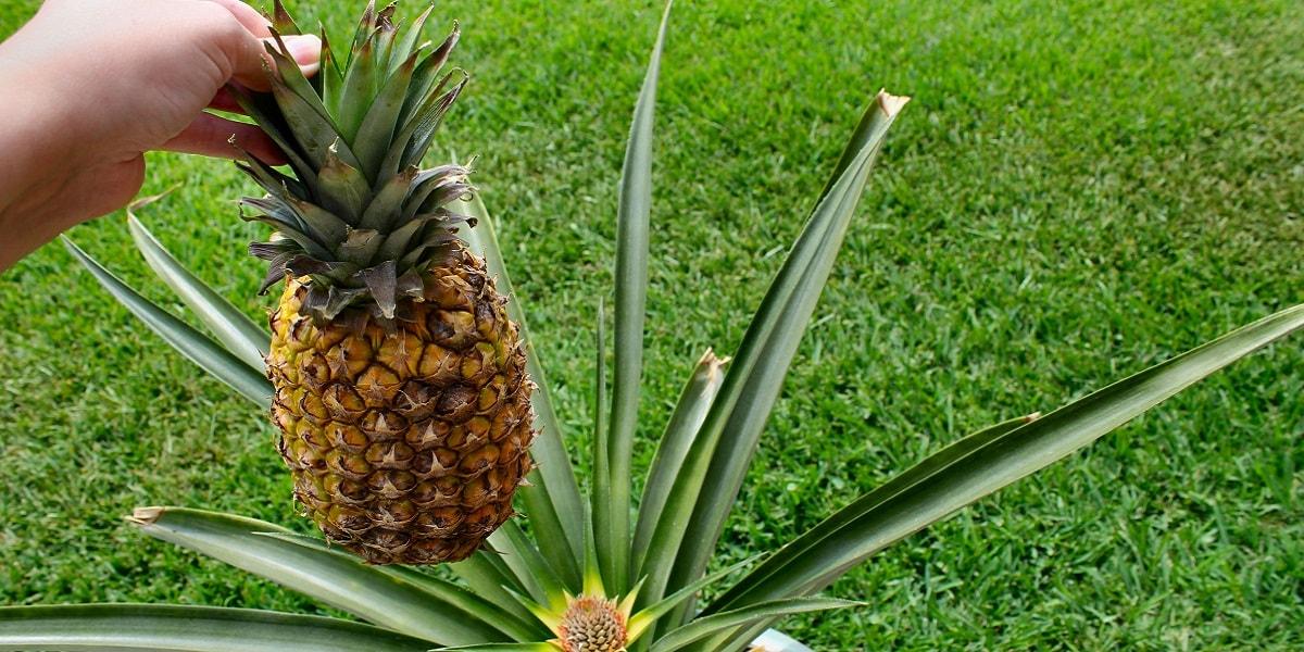 Ananasın Özellikleri Nelerdir?