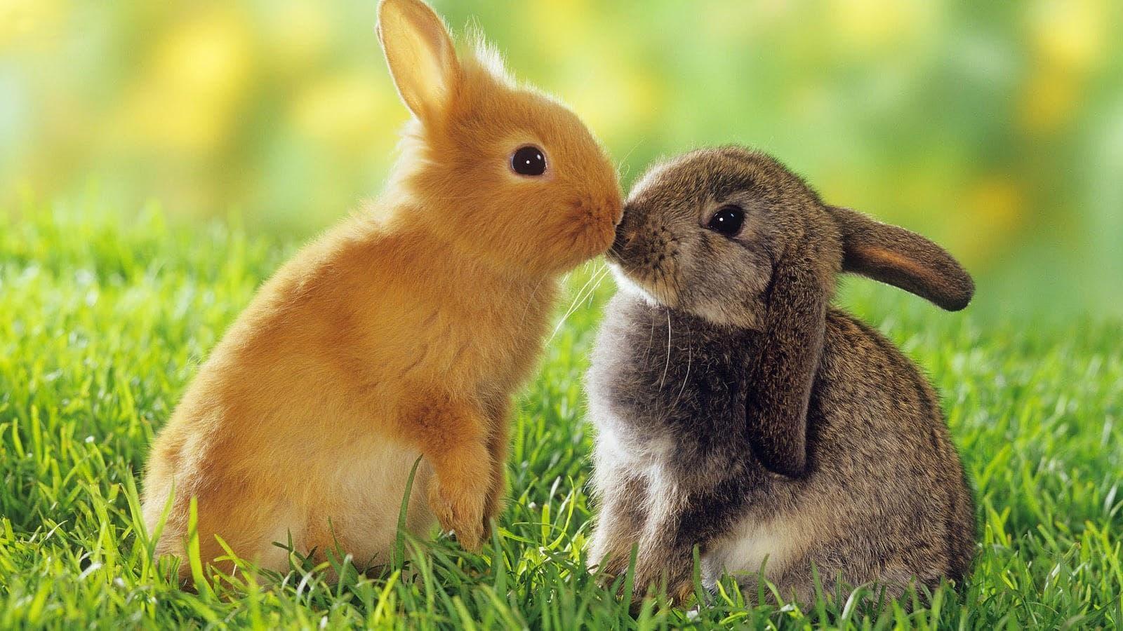Tavşan Nedir?
