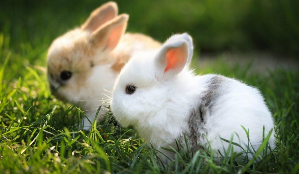 Tavşanlar Hakkında Bilgi; Tavşan Nedir? Özellikleri Nelerdir?