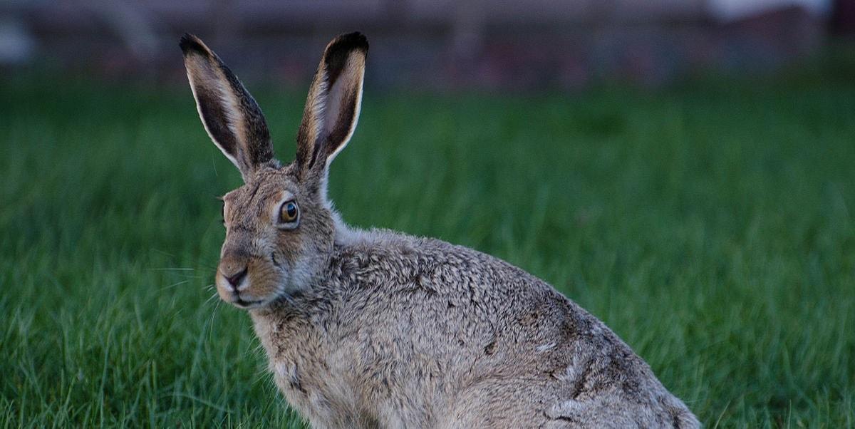 Tavşan Türleri Nelerdir?