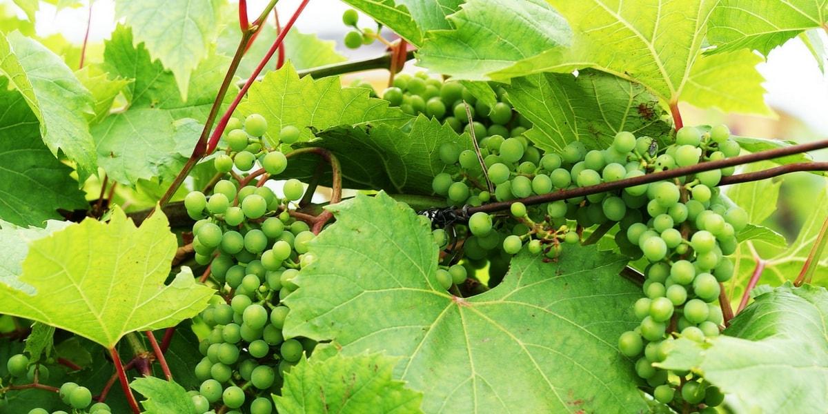 Üzüm Nasıl Yetiştirilir?