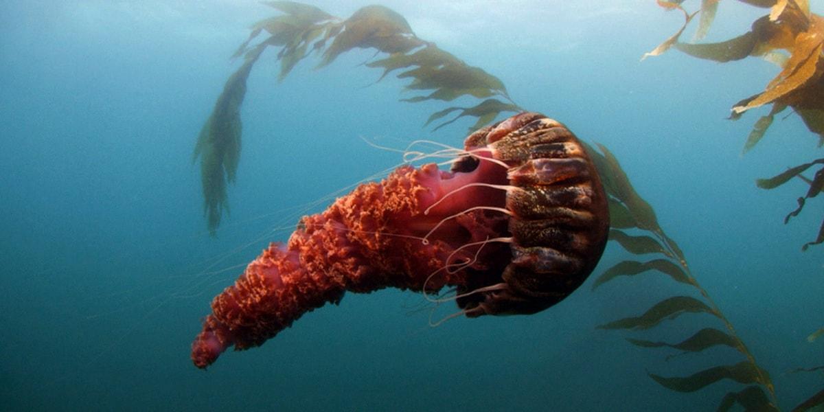 Denizanasının Türleri Nelerdir?