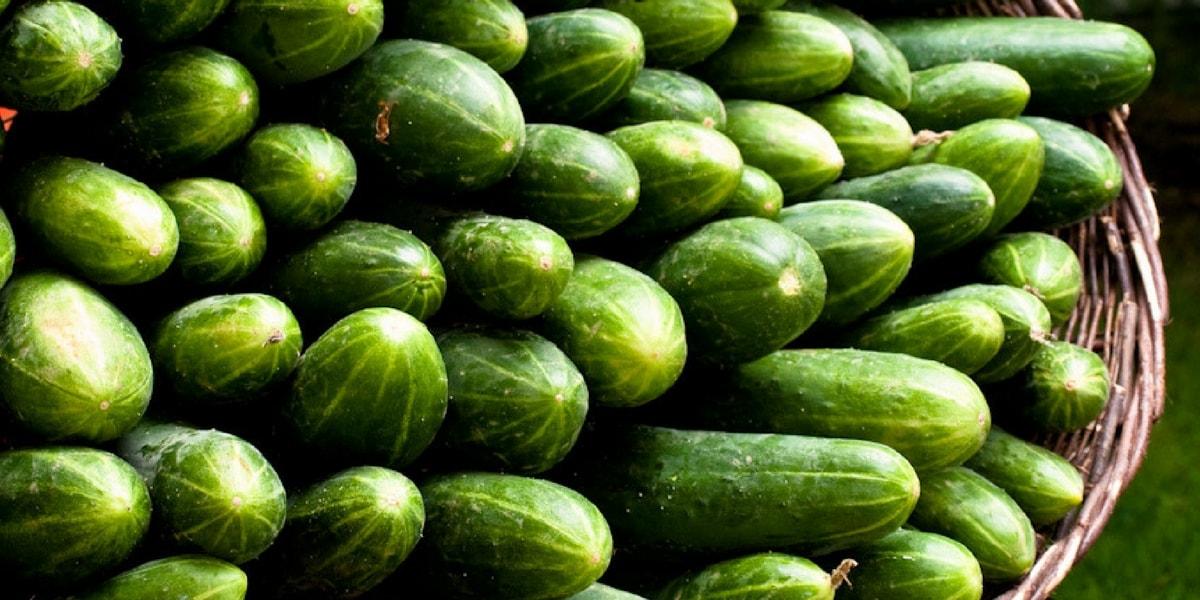 Salatalık Nasıl Yetiştirilir?