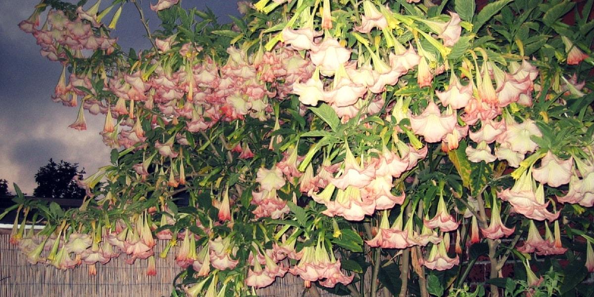 Boru Çiçeği(Datura Bitkisi) Nasıl Yetiştirilir?