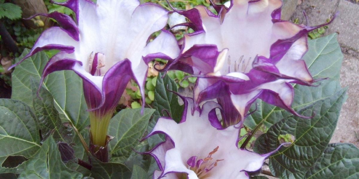 Boru Çiçeği(Datura Bitkisi) Nedir?