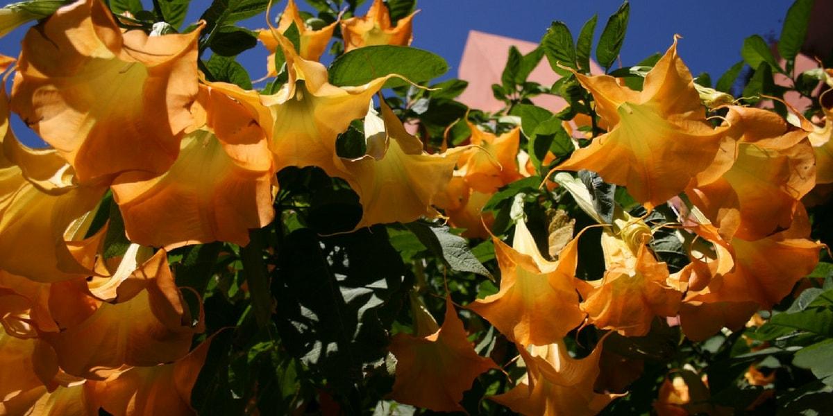 Boru Çiçeğinin(Datura Bitkisi) Faydaları Nelerdir?
