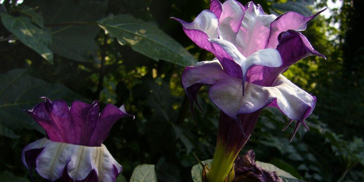 Boru Çiçeğinin (Datura Bitkisi) Yan Etkileri Nelerdir?