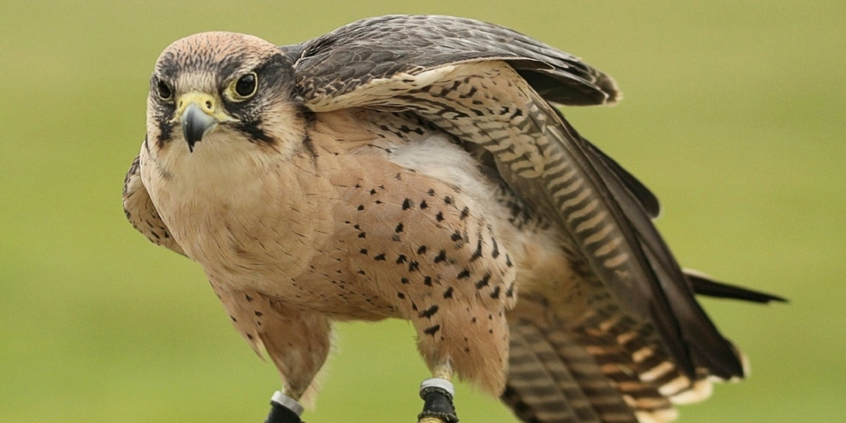 Doğan Kuşlarının Bilimsel Sınıflandırması