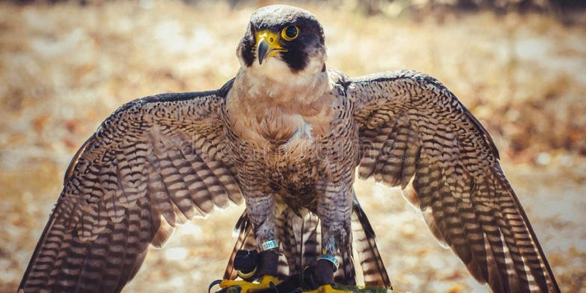 Doğan Kuşu Nedir?