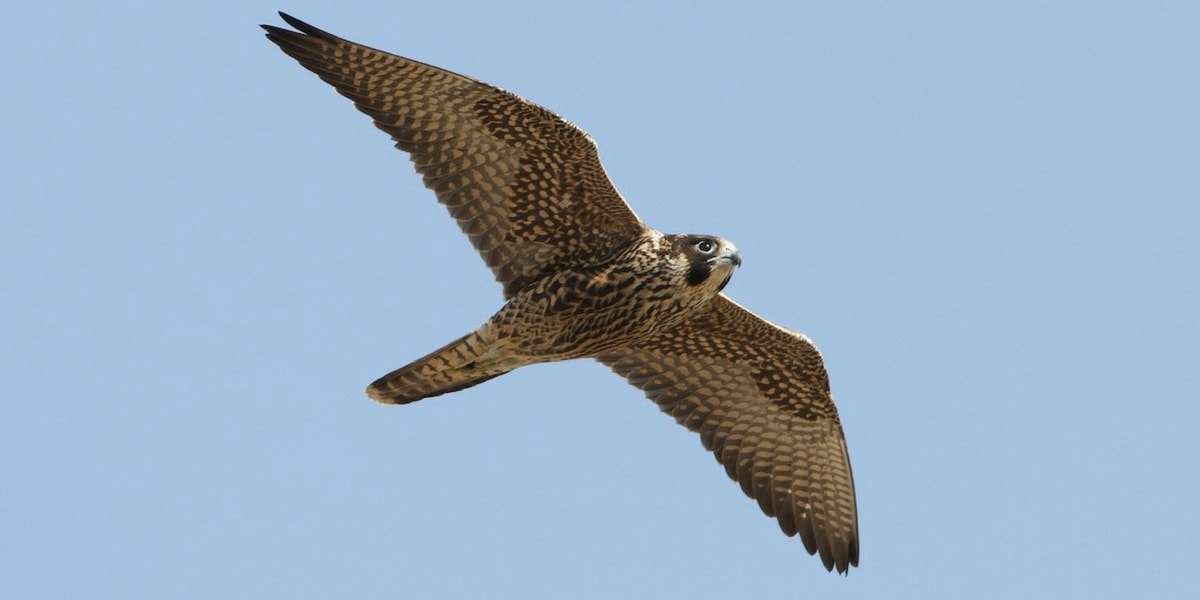 Doğan Kuşunun Özellikleri Nelerdir?