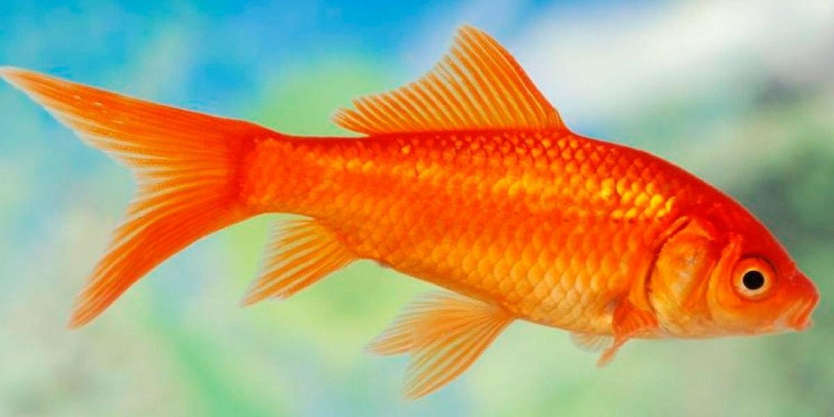 Japon Balığı Çeşitleri Nelerdir?