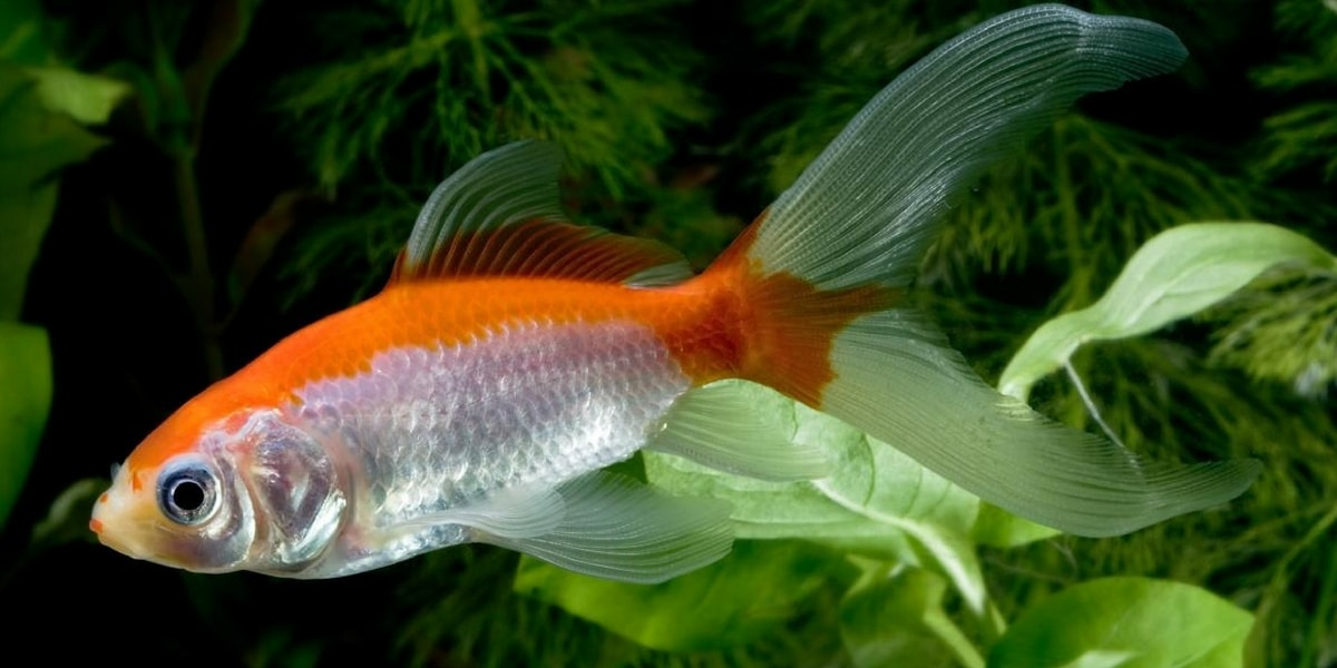 Japon Balığı Nedir?