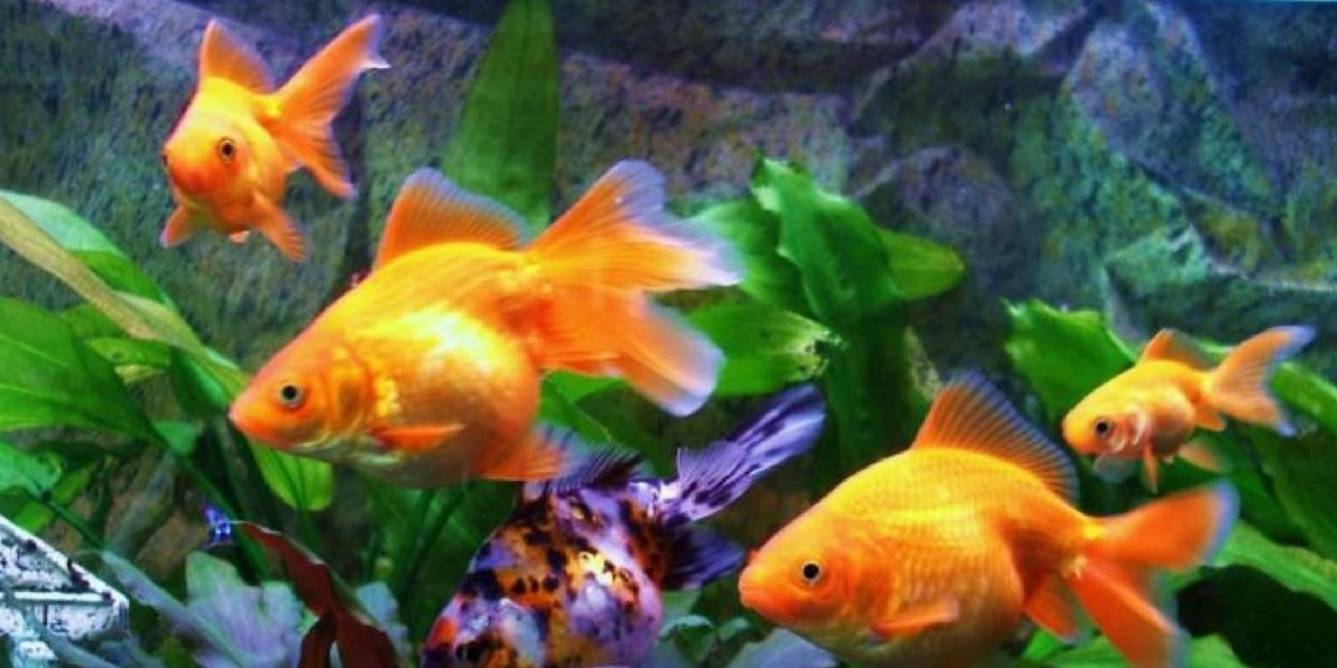 Japon Balığının Bakımı Nasıl Olmalıdır?