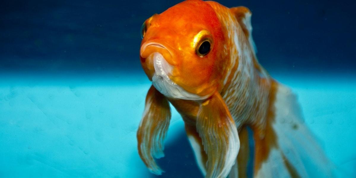 Japon Balığının Özellikleri Nelerdir?