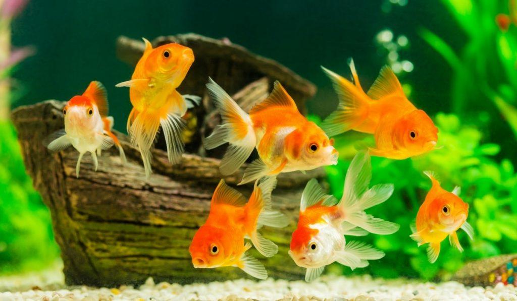 Japon Balıkları Hakkında Bilgi; Japon Balığı Nedir? Özellikleri Nelerdir?
