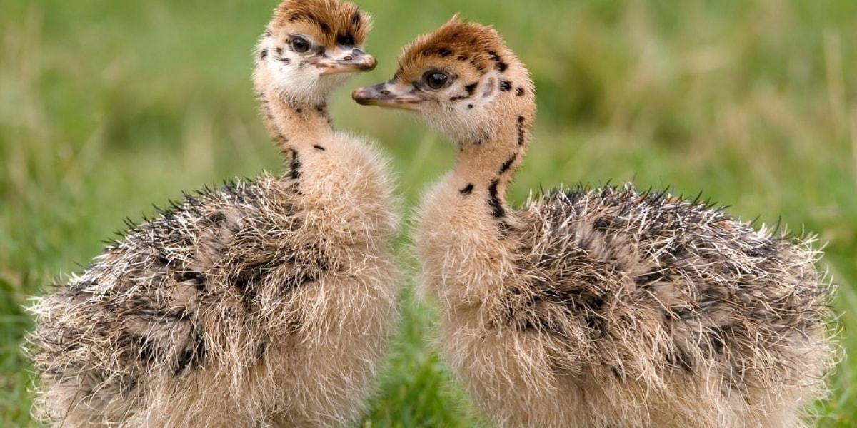 Deve Kuşunun Bilimsel Sınıflandırması