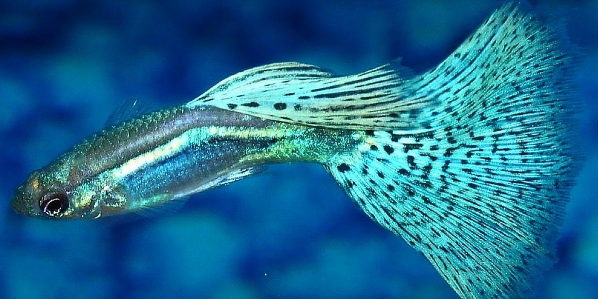 Lepistes Balığı Nedir?